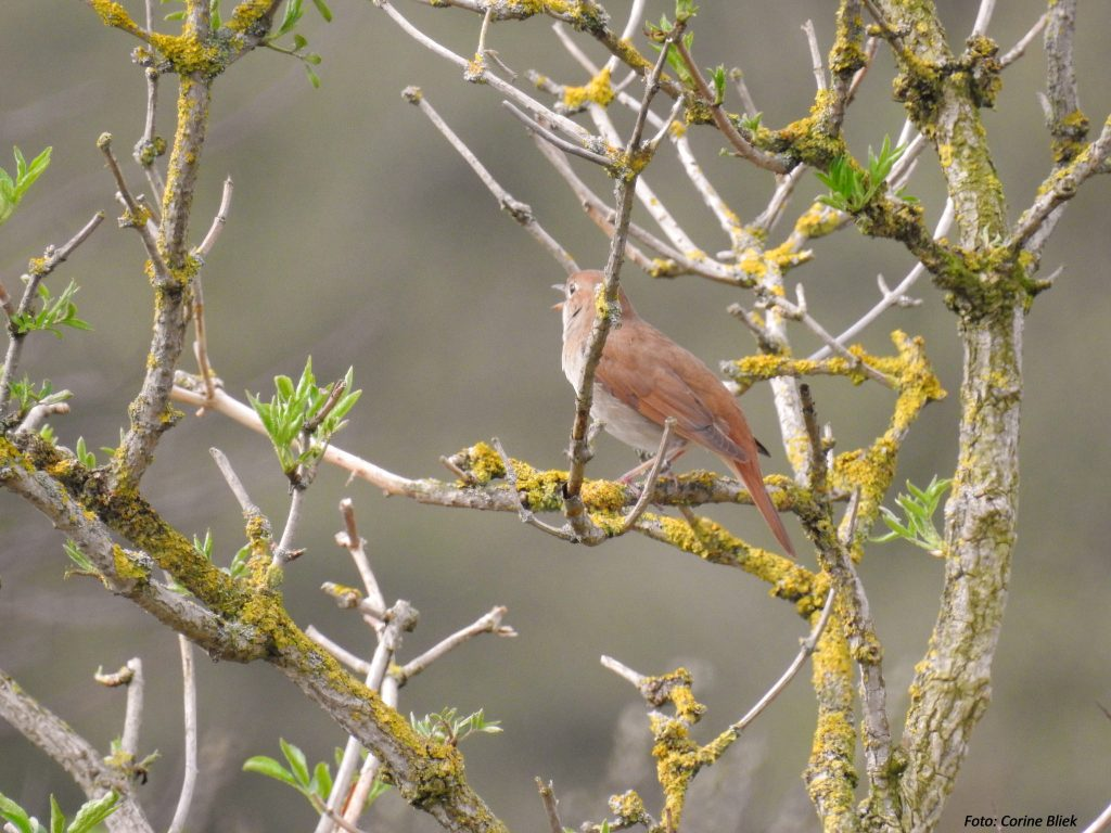 Nightingale in tree with spring shoots