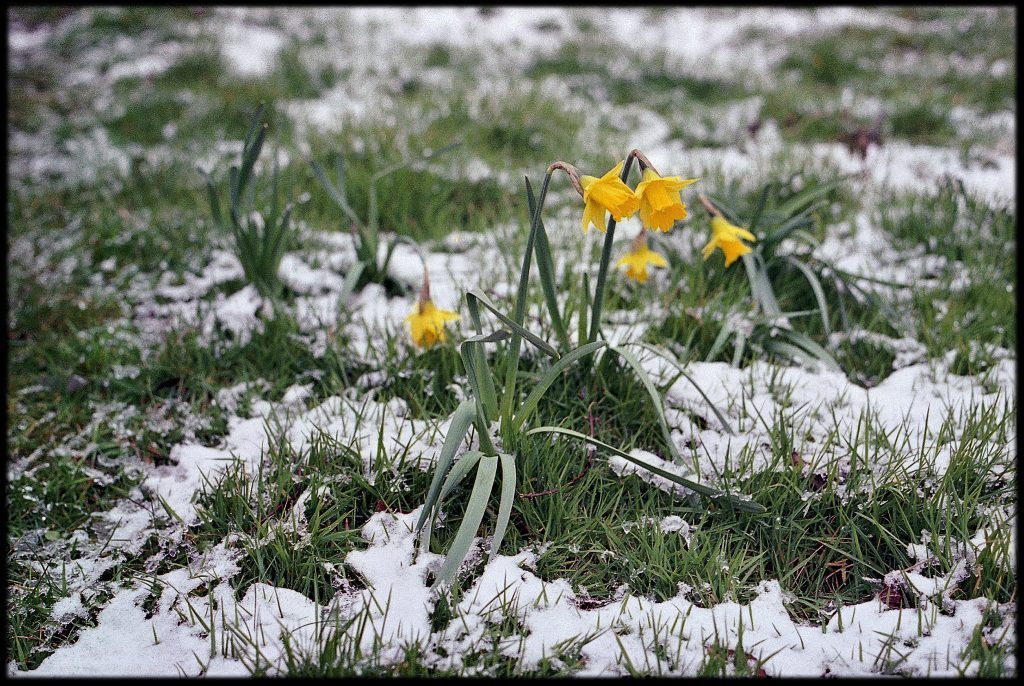 Spring flowers emerging from snow