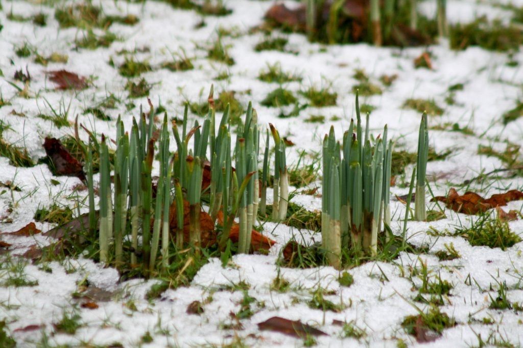 Green shoots emerging from snow